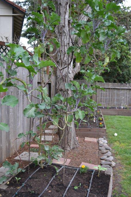 Tree collard plant