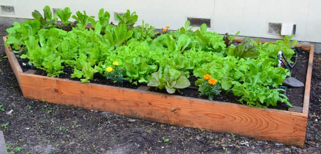Lettuce bed early May